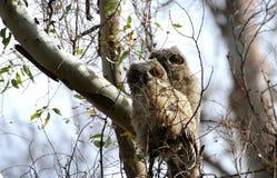 Dos grandes polluelos del búho de cuernos Imagenes de archivo