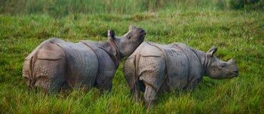 Dos grandes rinocerontes uno-de cuernos salvajes en un parque nacional Fotos de archivo libres de regalías