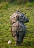 Dos grandes rinocerontes uno-de cuernos salvajes en un parque nacional Imagen de archivo
