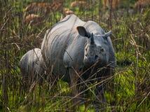 Dos grandes rinocerontes uno-de cuernos salvajes en un parque nacional Foto de archivo libre de regalías
