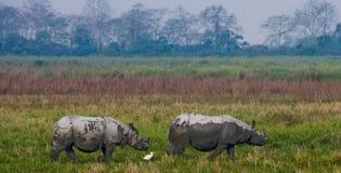 Dos grandes rinocerontes uno-de cuernos salvajes en un parque nacional Fotos de archivo