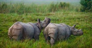 Dos grandes rinocerontes uno-de cuernos salvajes en un parque nacional Imagenes de archivo