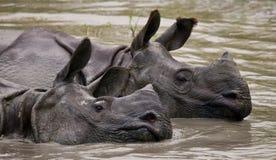Dos grandes rinocerontes uno-de cuernos salvajes que mienten en un charco Foto de archivo