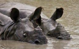 Dos grandes rinocerontes uno-de cuernos salvajes que mienten en un charco Fotografía de archivo libre de regalías