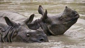 Dos grandes rinocerontes uno-de cuernos salvajes que mienten en un charco Fotos de archivo