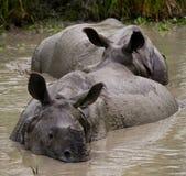 Dos grandes rinocerontes uno-de cuernos salvajes que mienten en un charco Imagen de archivo