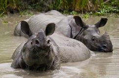 Dos grandes rinocerontes uno-de cuernos salvajes que mienten en un charco Fotos de archivo libres de regalías
