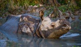Dos grandes rinocerontes uno-de cuernos salvajes que mienten en un charco Imagen de archivo libre de regalías