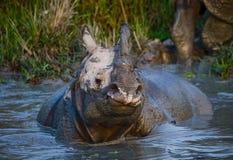 Dos grandes rinocerontes uno-de cuernos salvajes que mienten en un charco Foto de archivo libre de regalías