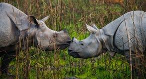 Dos grandes rinocerontes uno-de cuernos salvajes que miran uno a cara a cara Imágenes de archivo libres de regalías