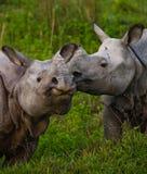 Dos grandes rinocerontes uno-de cuernos salvajes que miran uno a cara a cara Imagen de archivo libre de regalías