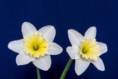 Dos grandes un primer de la flor del narciso Fotografía de archivo libre de regalías