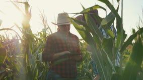 Dos granjeros hombre y mujer en un campo de maíz con una tableta en la puesta del sol La discusión de la cosecha metrajes