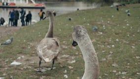 Dos Gray Swans Cygnus Olor On el banco del río Praga, República Checa de Moldava almacen de video