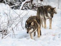 Dos grises wolfs, lupus de Canis, caminando a la derecha, mientras que huelen en la tierra Bosque del invierno Nevado foto de archivo libre de regalías