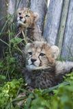 Dos guepardo Cubs Imágenes de archivo libres de regalías