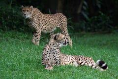 Dos guepardos Fotografía de archivo