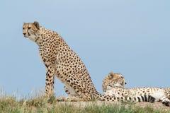 Dos guepardos en la colina en la sabana Fotografía de archivo libre de regalías