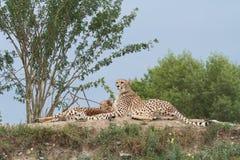 Dos guepardos en la colina en la sabana Fotos de archivo libres de regalías