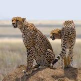 Dos guepardos en la colina en la sabana kenia tanzania África Parque nacional serengeti Maasai Mara Fotos de archivo libres de regalías