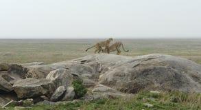 Dos guepardos en una formación de roca Imagen de archivo libre de regalías