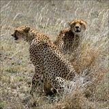 Dos guepardos en una hierba. Fotografía de archivo
