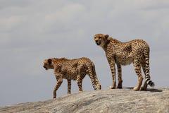 Dos guepardos en una roca Fotos de archivo
