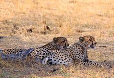 Dos guepardos que descansan sobre los llanos africanos imagenes de archivo