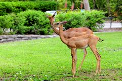 Dos hembras del gerenuk Imagen de archivo libre de regalías