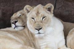 Dos hermanas de la leona se relajan en el parque zoológico de Toronto Foto de archivo