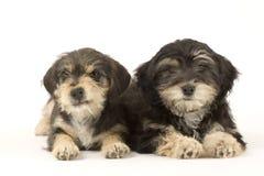 Dos hermanos lindos de los perritos aislados en blanco Imagen de archivo
