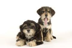 Dos hermanos lindos de los perritos aislados en blanco Imágenes de archivo libres de regalías