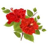 Dos hibiscos rojos del hibisco provienen la flor tropical en un vector blanco del vintage del fondo Foto de archivo