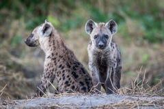 Dos hienas manchadas jóvenes que se sientan Imagen de archivo