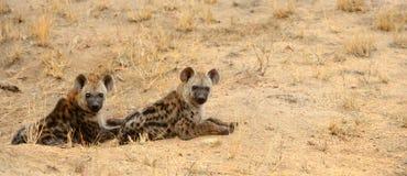 Dos hienas que descansan durante las horas diurnas calientes Foto de archivo libre de regalías