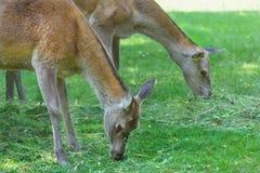 Dos hinds de pasto o animales femeninos de los ciervos comunes en prado del verano Imágenes de archivo libres de regalías
