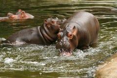Dos hipopótamos de los jóvenes que juegan en el agua Fotos de archivo