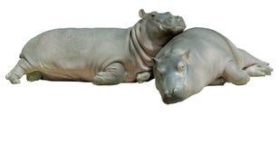 Dos hipopótamos del bebé, aislados en blanco Fotografía de archivo