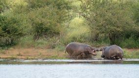 Dos hipopótamos que luchan en África fotografía de archivo