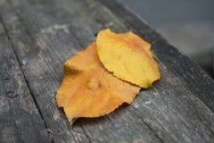 Dos hojas amarillas anaranjadas frescas hermosas están en la tabla imagen de archivo libre de regalías