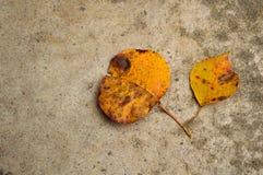 Dos hojas amarillas de la caída en fondo concreto Fotos de archivo