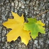 Dos hojas de arce Fotografía de archivo libre de regalías