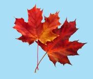 Dos hojas de arce del color rojo Imagenes de archivo