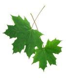 Dos hojas de arce verdes Fotografía de archivo