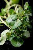 Dos hojas de la albahaca Fotografía de archivo libre de regalías