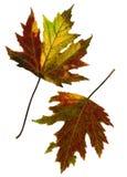 Dos hojas de la caída. Imágenes de archivo libres de regalías