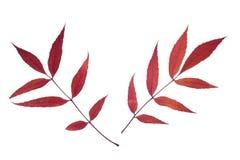 Dos hojas de la ceniza aisladas en blanco Imágenes de archivo libres de regalías