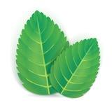 Dos hojas de menta Imágenes de archivo libres de regalías