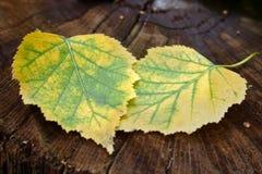 Dos hojas de otoño Imágenes de archivo libres de regalías