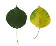 Dos hojas del albaricoque Foto de archivo libre de regalías